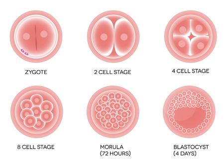 in vitro: Huevo fertilizado desarrollo Aislado en un fondo blanco Vectores