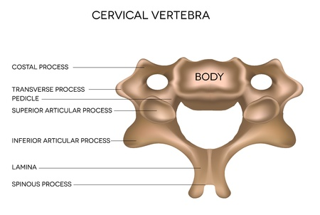 klatki piersiowej: Kręg szyjny kręgosłupa, szczegółowe medycznych ilustracji