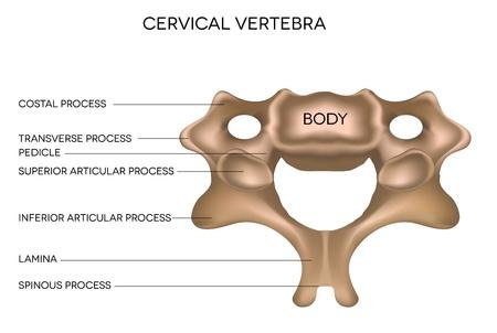 Vértebra cervical de la columna vertebral, la ilustración médica detallada