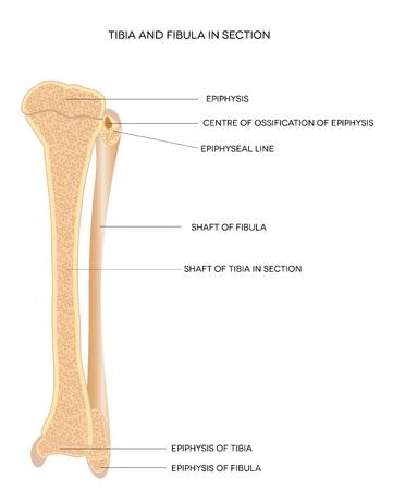 Tibia en fibula been botten, gedetailleerde illustratie geïsoleerd op een witte achtergrond Vector Illustratie