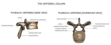 klatki piersiowej: Kręgu piersiowego kręgosłupa, szczegółowe medycznych ilustracji samodzielnie na białym tle