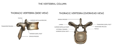 spinal column: Thoracic Vertebra of vertebral column, detailed medical illustration  Isolated on a white background
