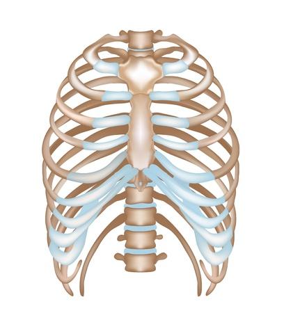rib: Tórax-costillas, esternón, columna vertebral ilustración médica detallada aislado en un fondo blanco