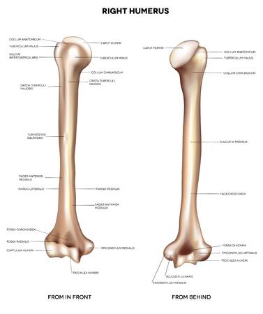huesos humanos: Brazo de hueso de la ilustración médica detallada Húmero-superior de la frente y detrás de términos médicos latinos aislado en un fondo blanco Vectores