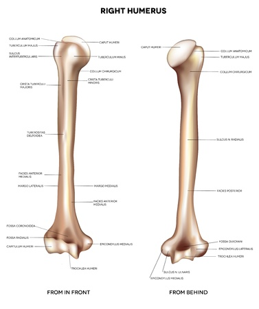 Humerus- upper arm bone   Detailed medical illustration from front and behind  Latin medical terms  Isolated on a white background  Vector