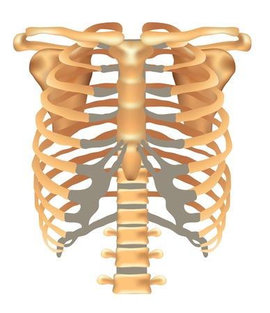 partes del cuerpo humano: Tórax-costillas, el esternón, la clavícula, la escápula, la columna vertebral ilustración médica detallada aislado en un fondo blanco