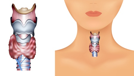 thyroid: Anatomy of Thyroid gland, Epiglottis, Trachea  Detailed medical illustration  Isolated on a white background