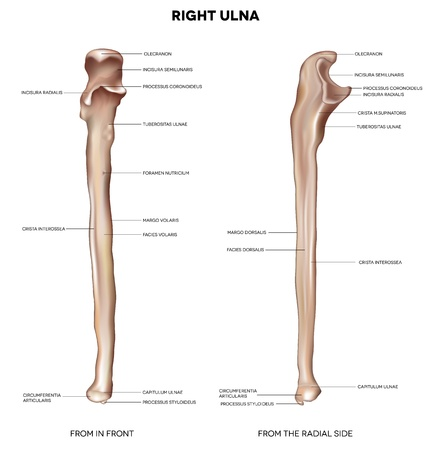upper: Ulna  Detailed medical illustration from in front and the radial side  Latin medical terms  Isolated on a white background  Illustration