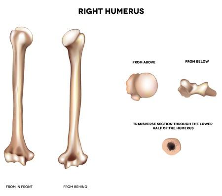 huesos: Brazo de hueso de la ilustraci�n m�dica detallada H�mero-superior del frente y atr�s, de arriba, de abajo y de la secci�n transversal a trav�s de la mitad inferior del h�mero