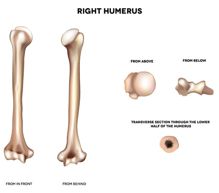 upper half: Humerus- upper arm bone  Detailed medical illustration from front and behind; from above, from below and transverse section through of the lower half of the humerus  Illustration