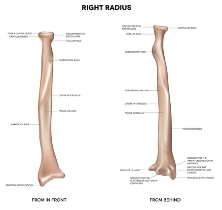 Radius  Human right radius, bone  Detailed medical illustration  Latin medical terms  Isolated on a white background Vector