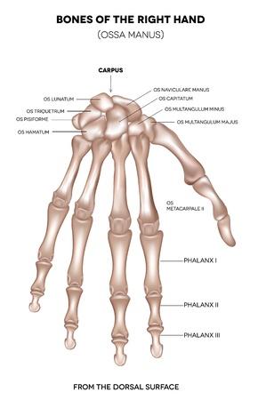 partes del cuerpo humano: Los huesos de la mano ilustraci�n mano t�rminos m�dicos latinos m�dicas detalladas derecha aislado en un fondo blanco Dise�o realista y precisa