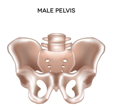 skeletal: Male pelvis  Bones of the lower extremity  Detailed medical illustration  Isolated on a white background  Bright and clean design