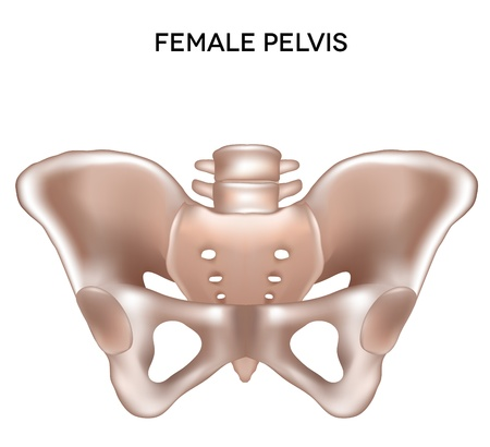 Female pelvis  Bones of the lower extremity  Detailed medical illustration  Isolated on a white background  Bright and clean design  Vector