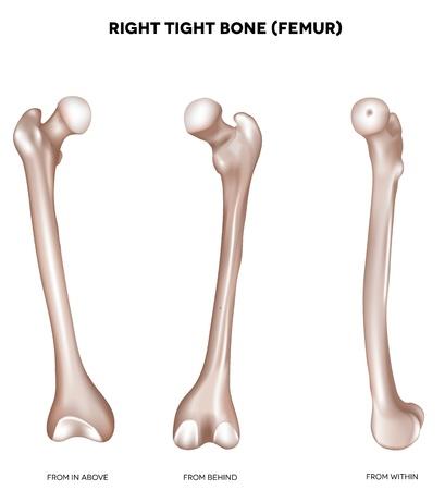 huesos humanos: Derecho apretado hueso fémur hueso de la extremidad inferior desde arriba, detrás y dentro de ilustración médica detallada Aislado en un fondo blanco Diseño brillante y limpio