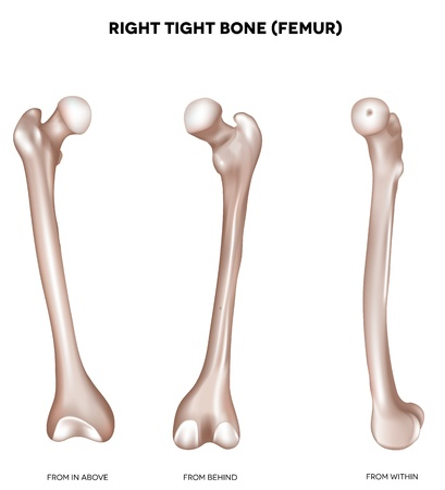 Right tight bone- Femur  Bone of the lower extremity  From above, behind and within  Detailed medical illustration  Isolated on a white background  Bright and clean design  Vector