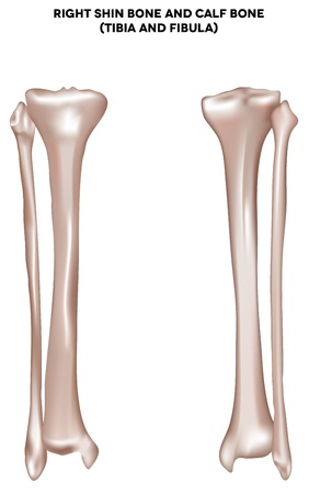 tibia: Right shin bone and calf bone  tibia and fibula   Bones of the lower extremity  Detailed medical illustration  Isolated on a white background  Bright and clean design  Illustration