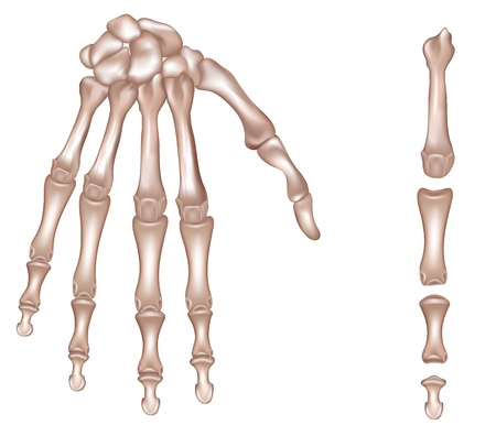 finger bones: Bones of the right hand  Phalanges of the third finger of the right hand  Detailed medical illustration  Latin medical terms  Isolated on a white background  Realistic and accurate design