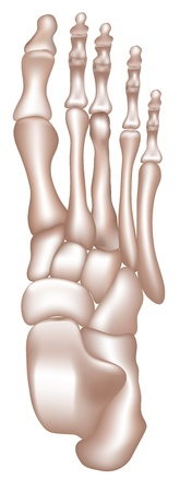 male feet: Bones of the lower extremity Bones of the tight foot  Detailed medical illustration  Isolated on a white background  Bright and clean design  Illustration