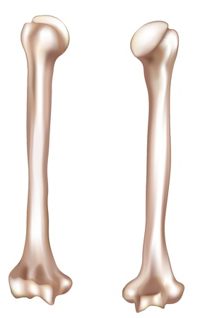 density: Humerus- upper arm bone  Detailed medical illustration from front and behind  Isolated on white