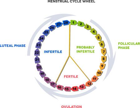 月経周期の車輪。平均的月経周期。卵胞、排卵黄体相。 写真素材 - 23074666