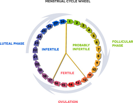 menstruation: Menstrual cycle wheel. Avarage menstrual cycle. Follicular phase, Ovulation, luteal phase. Illustration
