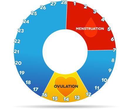 月経周期のグラフィック。平均的月経周期日数。出血 (赤い色) 期間と排卵 (黄色)。白で隔離されます。  イラスト・ベクター素材