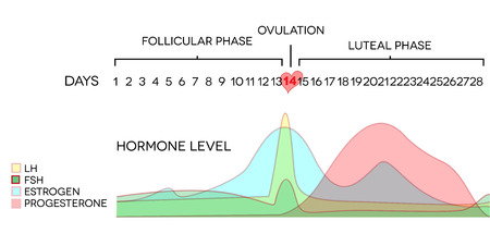 Menstrual cycle hormone level. Avarage menstrual cycle. Follicular phase, Ovulation, luteal phase. Illustration