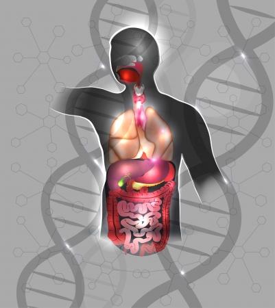 anatomie humaine: L'anatomie humaine conception abstraite, spirales de l'ADN. Beau fond de couleur grise et des lumi�res scintillantes.