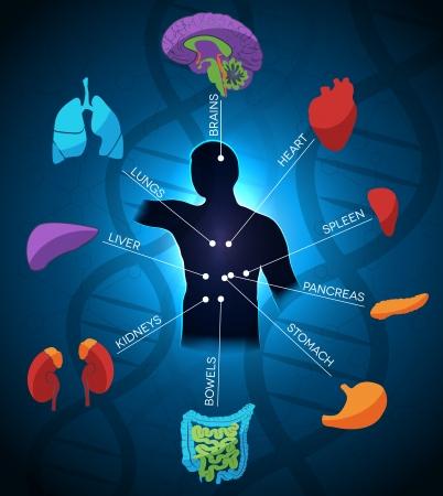sistema digestivo humano: Dise�o colorido y brillante anatom�a humana, la cadena de ADN en el fondo. Color azul profundo hermoso.
