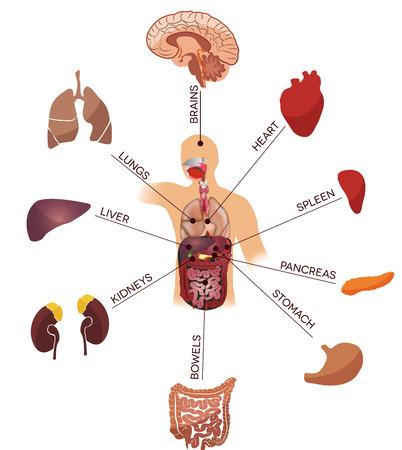 Ilustración de la anatomía humana. Concepto médico. Aislado en un fondo blanco.