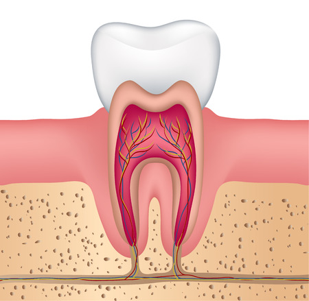 oral hygiene: Healthy white tooth illustration, detailed anatomy Illustration