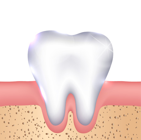 gums: Healthy white tooth, gums and bone illustration, detailed anatomy