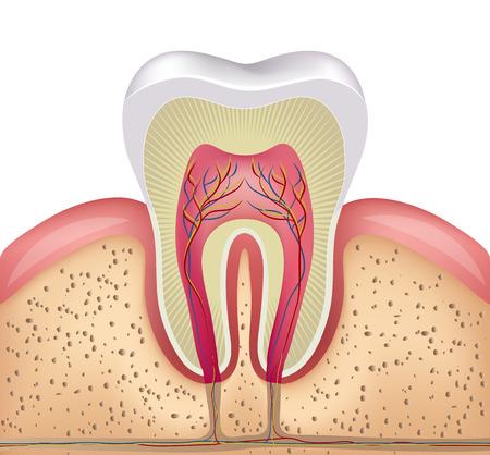 건강한 흰 치아, 잇몸과 뼈 그림, 상세한 해부학 일러스트