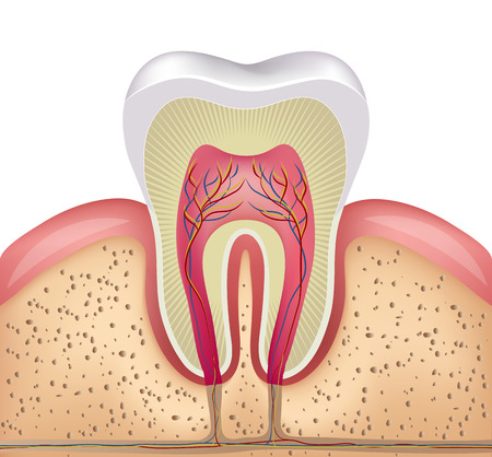 dientes caricatura: Diente blanco sano, las encías y el hueso ilustración, anatomía detallada Vectores