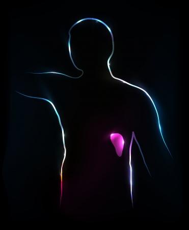 Spleen  Abstract medical illustration, background