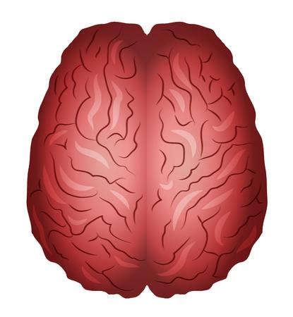 white bacground: Los cerebros humanos. Aislado en un fondo blanco Fundamentos.