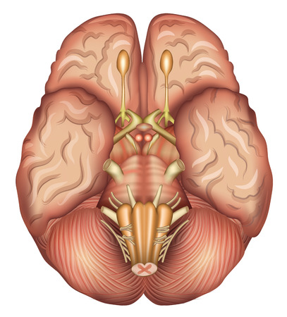 white bacground: Base de cerebros humanos, ilustraci�n detallada. Aislado en un fondo blanco Fundamentos.