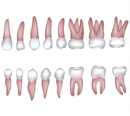 건강한 인간의 이빨 그림입니다. 흰색입니다.