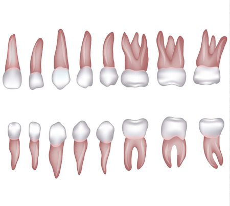 caries: Healthy human teeth illustration. Isolated on white.