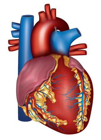 vasos sanguineos: Detallada anatomía del corazón humano, aislado en un fondo blanco. Ilustración médica.