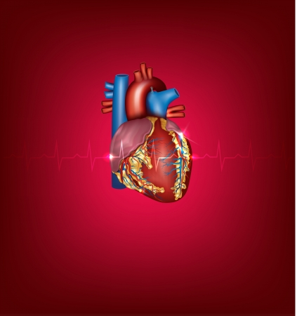 human vein heartbeat: Human heart and cardiogram medical illustration on a bright red background Illustration