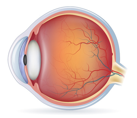 bacground: Human eye anatomy, detailed illustration. Isolated on a white bacground.
