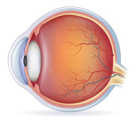 ojo humano: La anatomía del ojo humano, ilustración detallada. Aislado en un fondo blanco Fundamentos. Vectores
