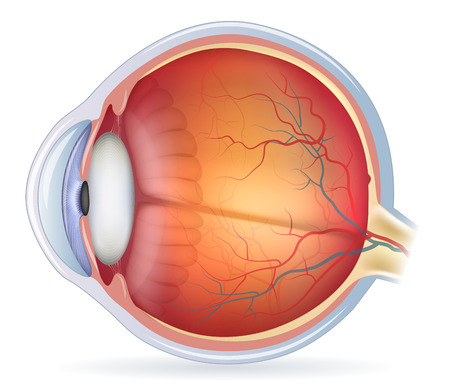 optics: Human eye anatomy diagram, medical illustration. Isolated on a white bacground.
