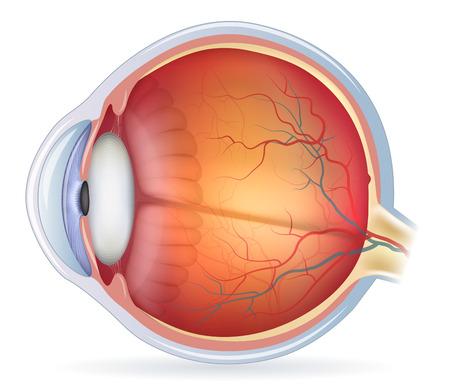 anatomie: Menselijk oog anatomie diagram, medische illustratie. Geïsoleerd op een witte gemaakt. Stock Illustratie