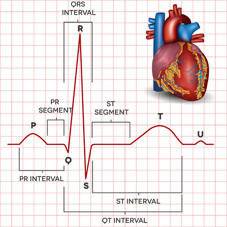 electrocardiograma: Coraz�n ritmo sinusal normal humana y la anatom�a detallada del coraz�n humano. Ilustraci�n m�dica.