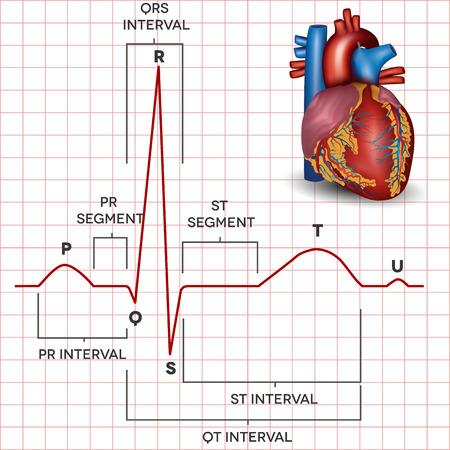 elettrocardiogramma: Cuore normale ritmo sinusale e del cuore umano anatomia dettagliata umana. Illustrazione medica.