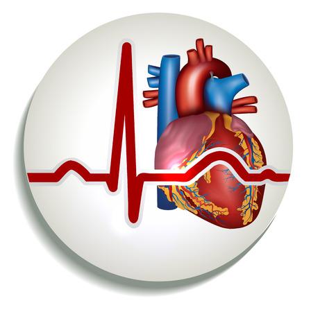 Kleurrijke menselijk hartritme pictogram. Menselijk hart anatomie en normaal sinusritme. Stockfoto - 25867493