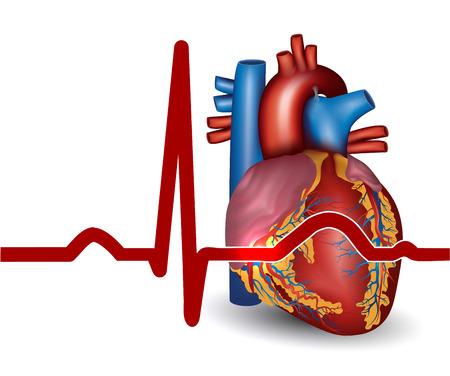 C?ur humain rythme sinusal normal, électrocardiogramme fiche Illustration